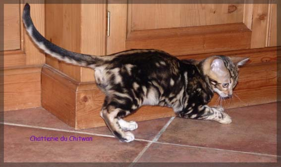 BENGAL F6 Marble 4
