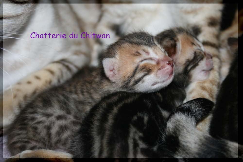 Chatons Bengal F5 et F6