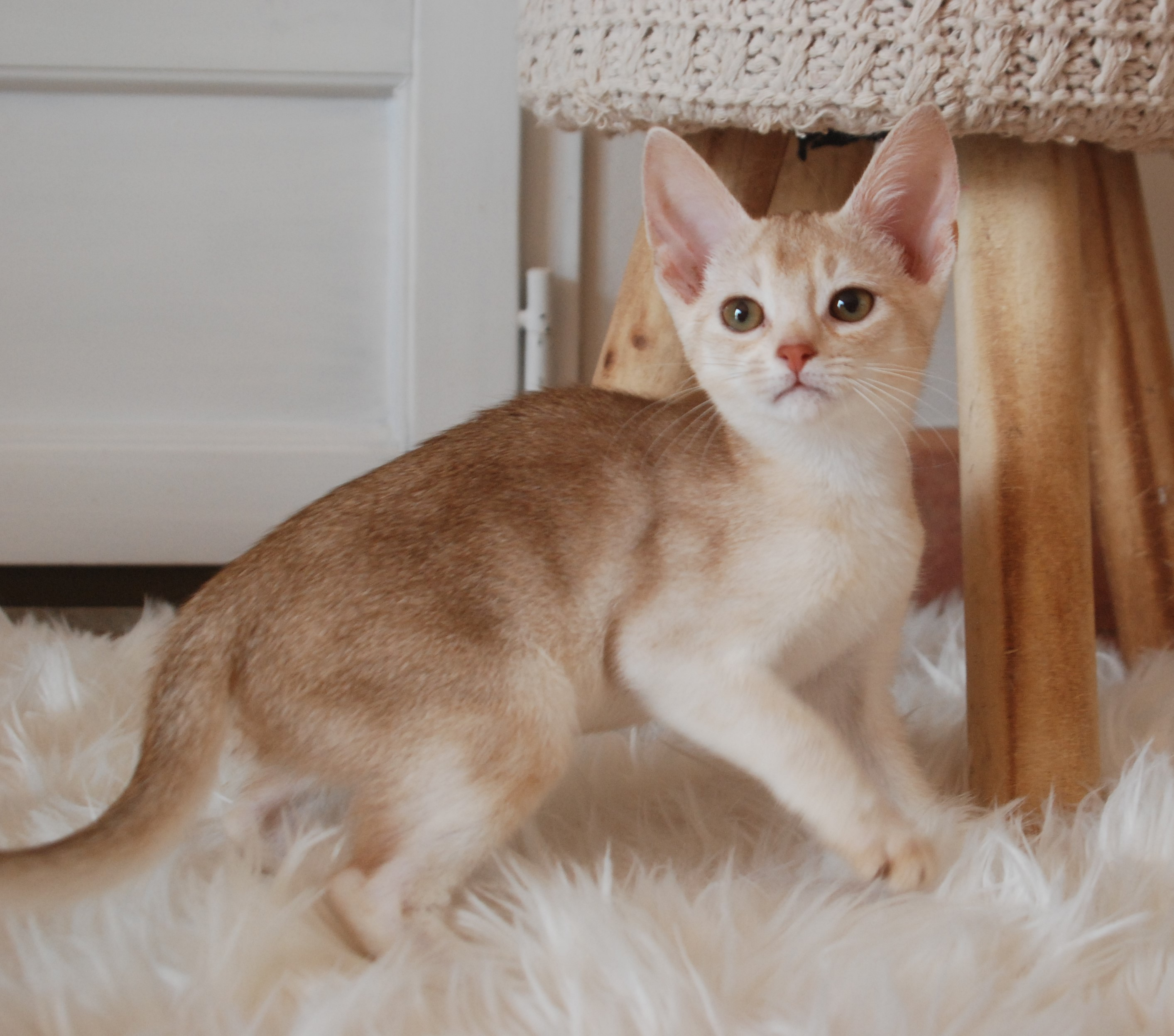 Chaton Abyssin Cinnamon Silver Ticked Tabby